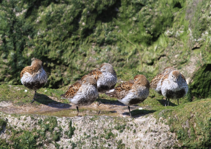 Dunlin (Calidris alpina)