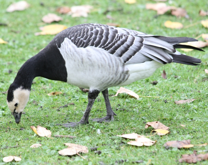 Barnacle goose (Branta leucopsis)