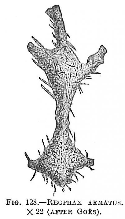 Reophax armatus