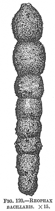 Reophax bacillaris