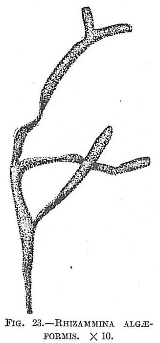 Rhizammina algaeformis