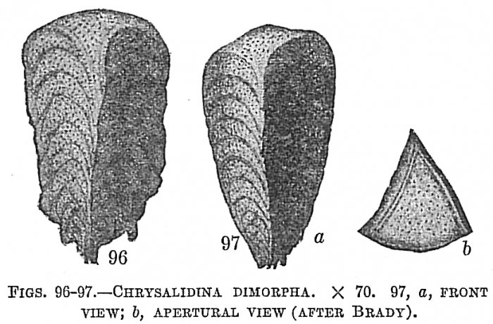 Chrysalidina dimorpha