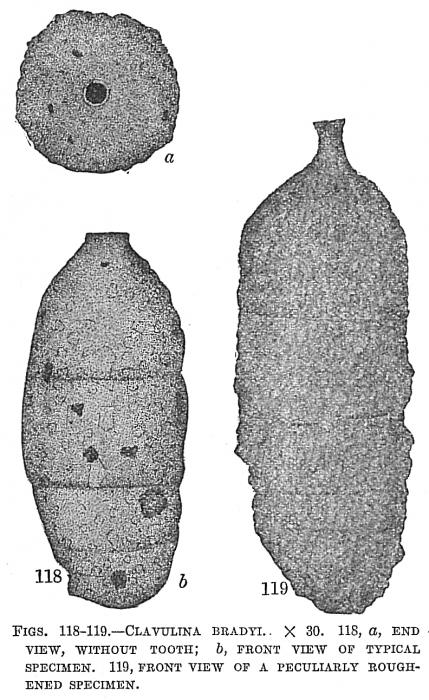 Clavulina bradyi
