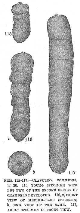 Clavulina communis