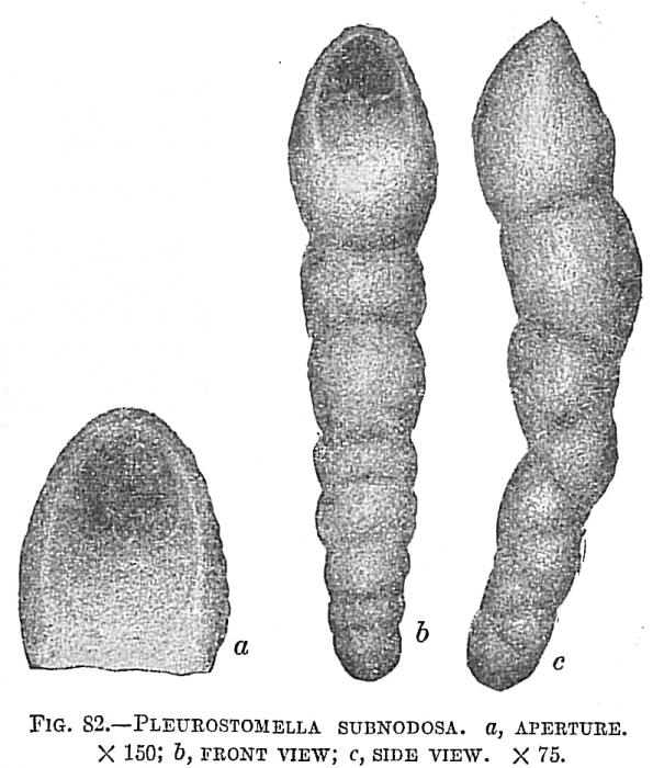 Pleurostomella subnodosa