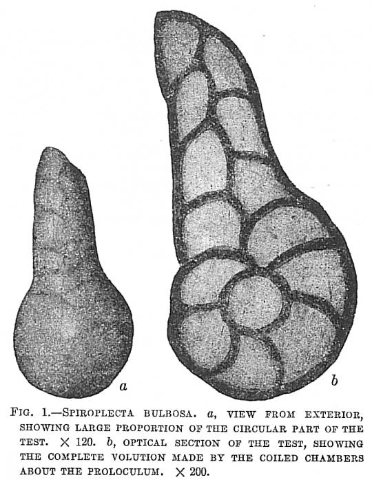 Spiroplecta bulbosa