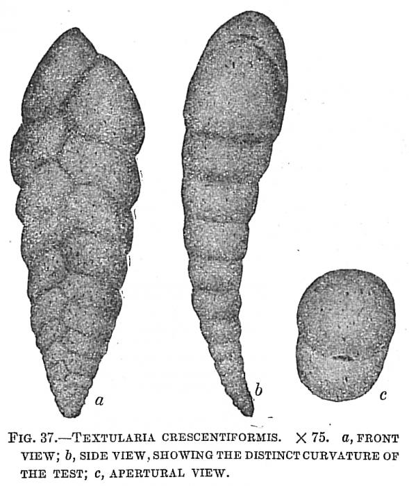 Textularia crescentiformis