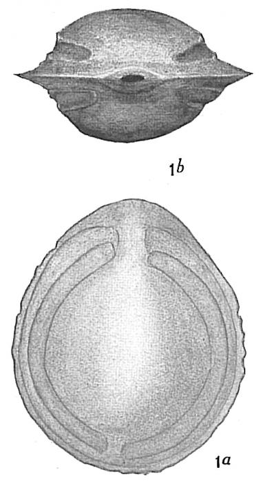 Lagena fasciata carinata