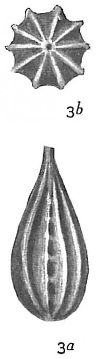 Lagena foveolata