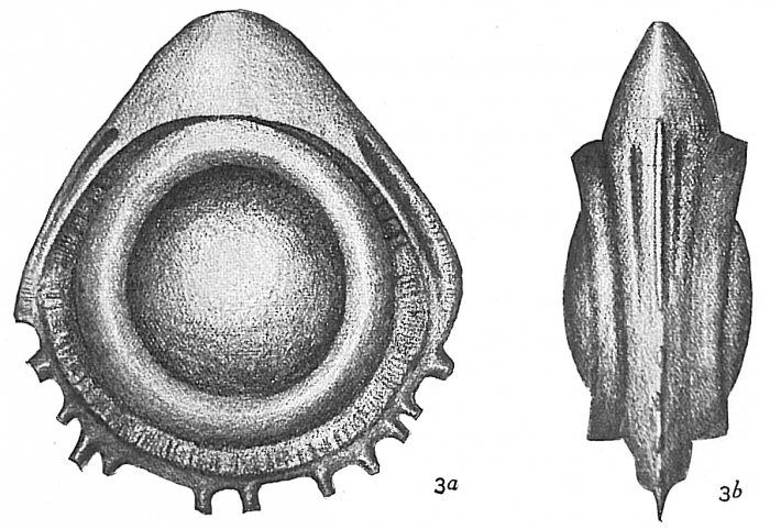 Lagena orbignyana coronata