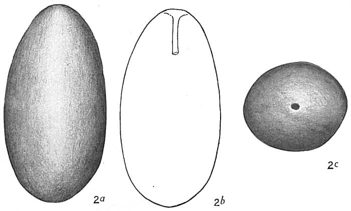 Lagena ovum