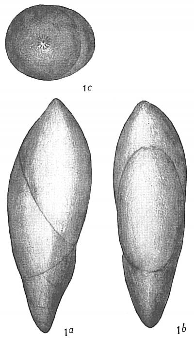 Polymorphina rotundata