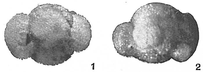 Globigerina helicina