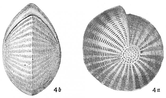 Polystomella craticulata
