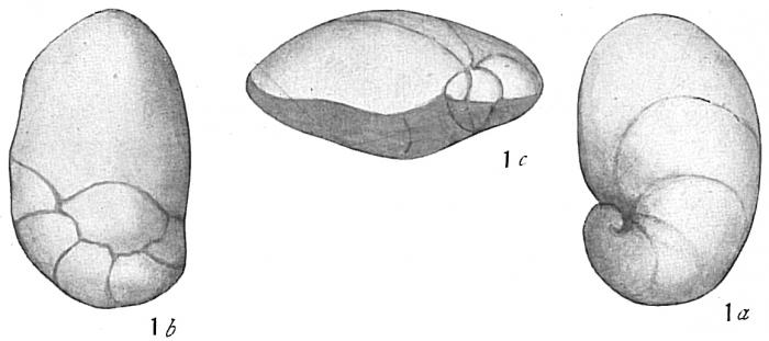 Pulvinulina auricula