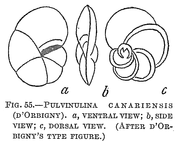 Pulvinulina canariensis