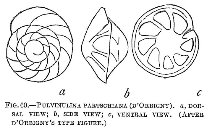 Pulvinulina partschiana