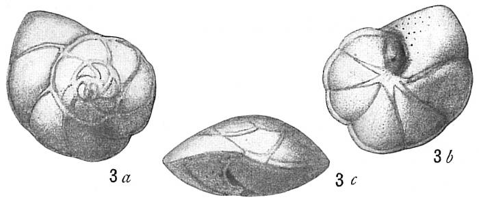 Pulvinulina repanda