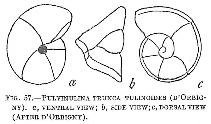 Pulvinulina truncatulinoides