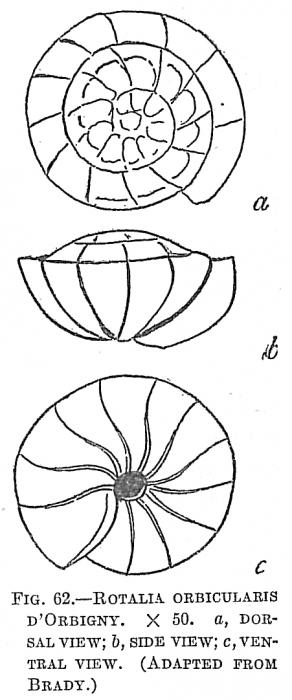Rotalia orbicularis