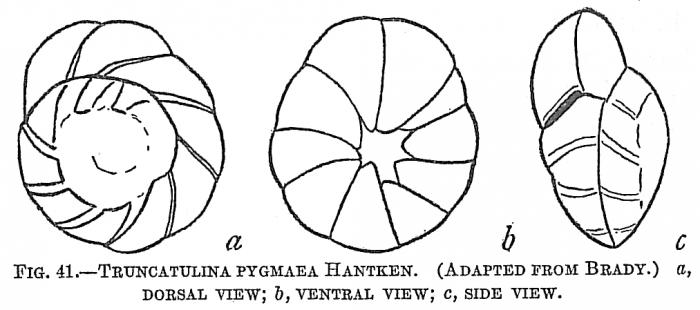 Truncatulina pygmaea