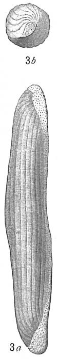 Alveolina boscii (Misidentification) Alveolinella quoyi (probable)