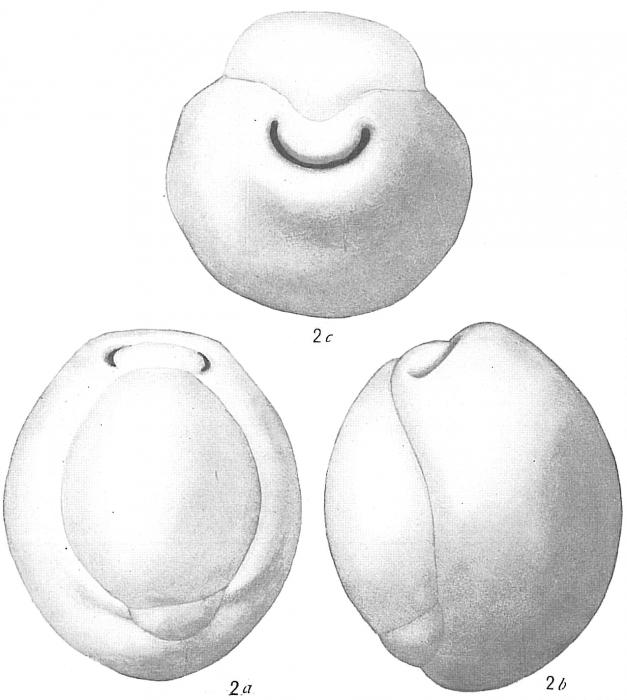 Biloculina globulus