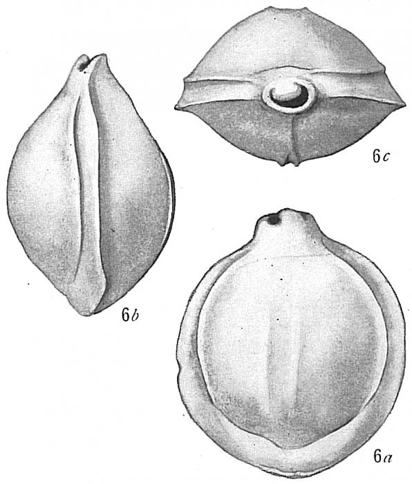 Biloculina semicostata