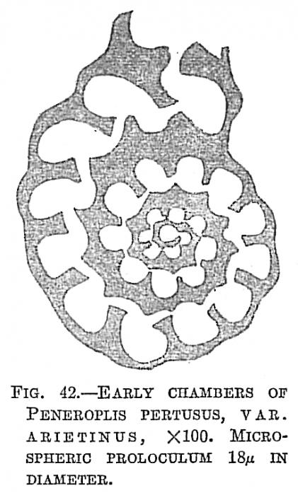 Peneroplis pertusus var. arietinus