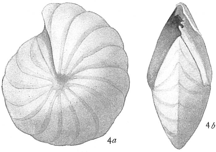 Peneroplis pertusus var. carinatus