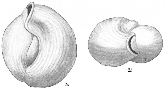 Triloculina circularis var. sublineata