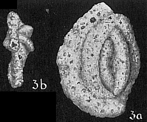 Massilina alveoliniformis