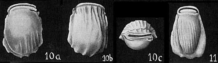 Pyrgo denticulata var. striolata
