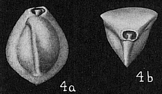 Triloculina affinis