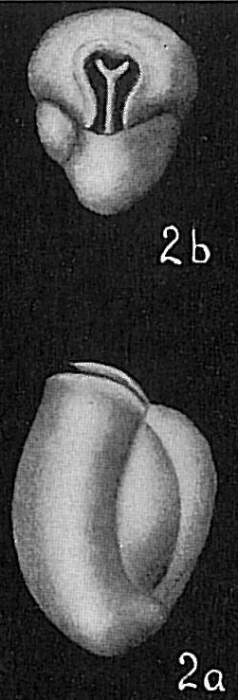 Triloculina austriaca