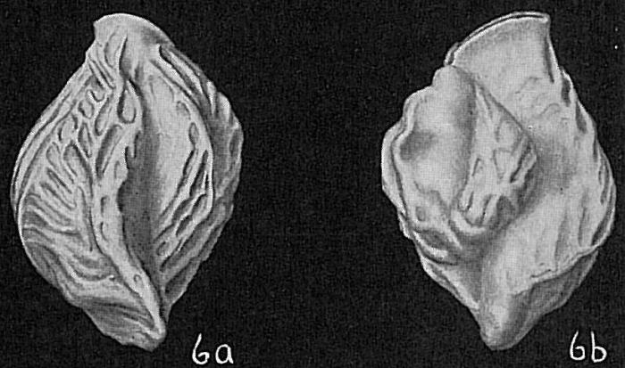 Triloculina bicarinata