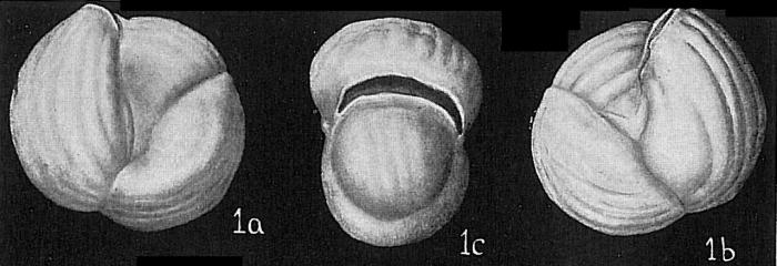 Triloculina labiosa sparsicostata