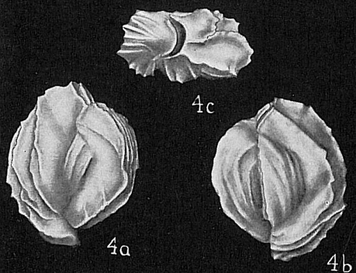 Triloculina oceanica flintiana