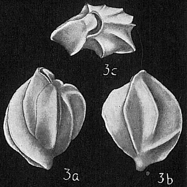 Triloculina oceanica