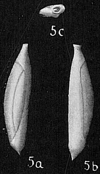 Triloculina spinata