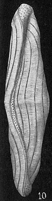 Alveolinella quoyi