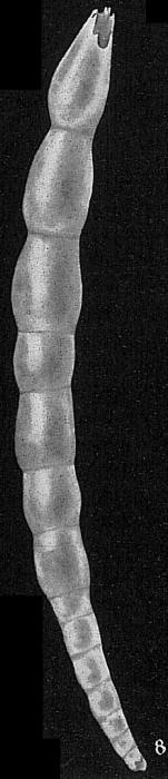 Dentalina elegans