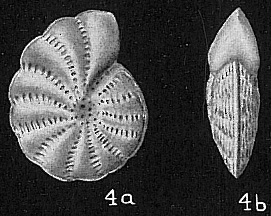 Elphidium advenum depressulum