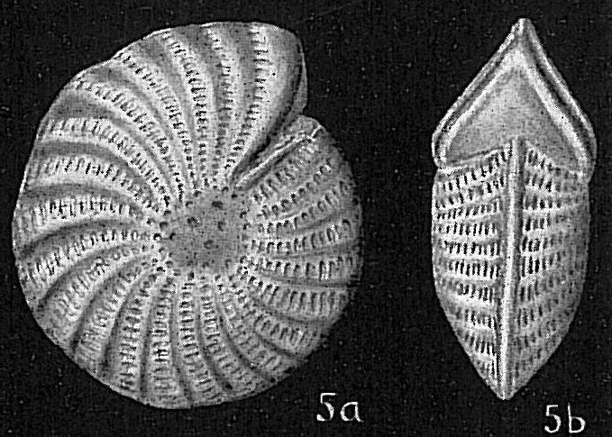 Elphidium craticulatum