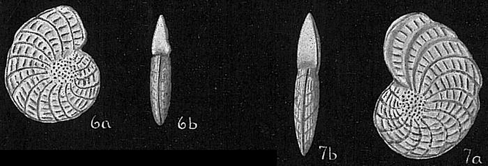 Elphidium jenseni