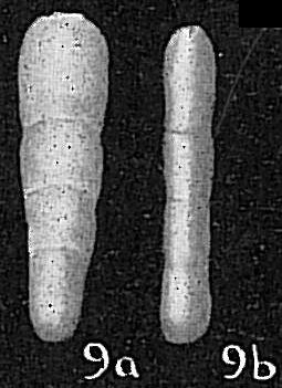 Lingulina glandigena