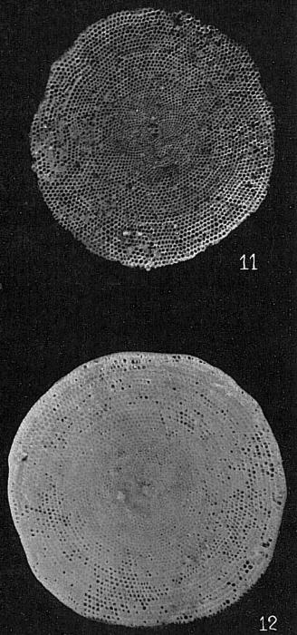 Marginopora vertebralis