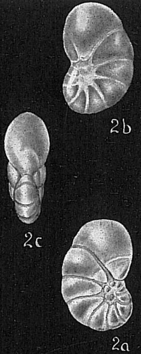Nonionella translucens