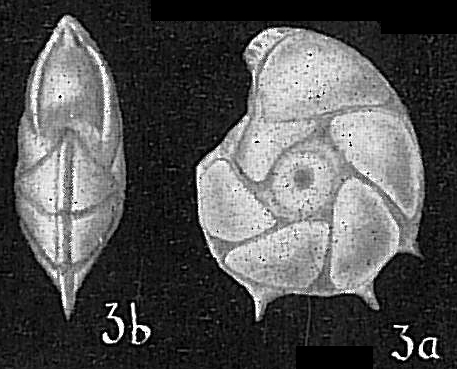 Robulus calcar
