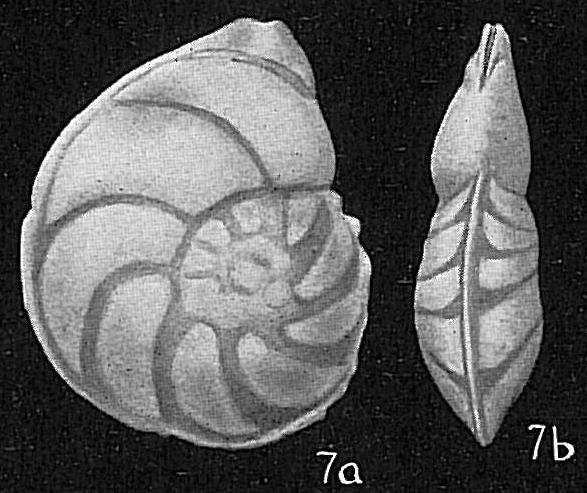 Robulus larvus